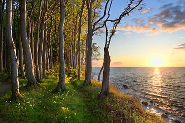 European beech (Fagus sylvatica), Baltic Sea, Maerchenwald, Wittow, Ruegen, Germany