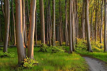 European beechtrees (Fagus sylvatica), Maerchenwald, Wittow, Ruegen, Germany