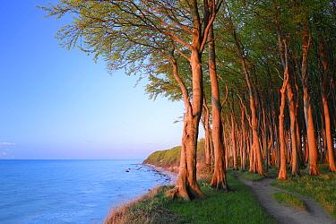 European beech trees (Fagus sylvatica), growing along coast of Baltic Sea, Maerchenwald, Wittow, Ruegen, Germany