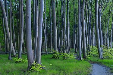 European beech trees (Fagus sylvatica), Maerchenwald, Wittow, Ruegen, Germany