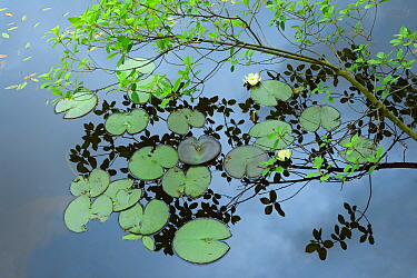 Water lily (Nymphaea alba) Paradisbakkerne, Bornholm, Denmark, June.