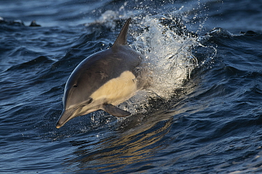 Long-beaked common dolphin (Delphinus capensis) off the coast of California, United States.