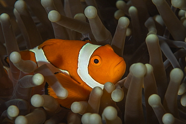 Western clownfish (Amphiprion ocellaris) in sea anemone on reef in Raja Ampat, West Papua, Indonesia. Pacific Ocean.