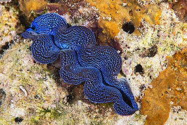 Crocus giant clam (Tridacna crocea) in Raja Ampat, West Papua, Indonesia. Pacific Ocean.