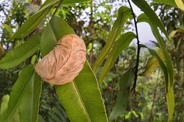 Flannel moth caterpillar (Megalopyge sp.) in Choco region, Northwestern Ecuador.