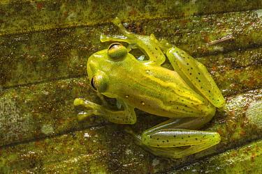 Emerald glass frog (Centrolenella proseblepan) in cloud forest, Choco region, Northwestern Ecuador.