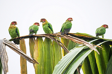 Group of Rose-faced parrot (Pyrilia pulchra) in cloud forest, Choco region, Northwestern Ecuador.
