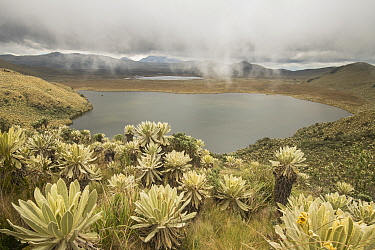 Field of Paramo flower / Frailejones (Espeletia pycnophylla) growing next to a lake, highland paramo, northern Ecuador.