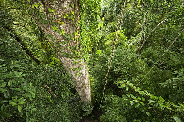 View looking down from a giant rainforest tree at the Tiputini Biodiversity Station, Amazon Rainforest, Ecuador.