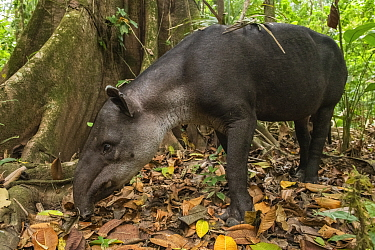 Baird's tapir (Tapirus bairdii), rainforest, Corcovado National Park, Costa Rica. Endangered.