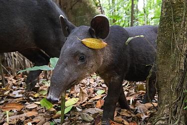 Baird's tapir juvenile (Tapirus bairdii), rainforest, Corcovado National Park, Costa Rica. Endangered.