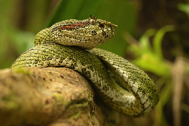Eyelash palm pit viper (Bothriechis schlegelii) waiting for prey on tree in Tenorio Volcan National Park, Costa Rica.