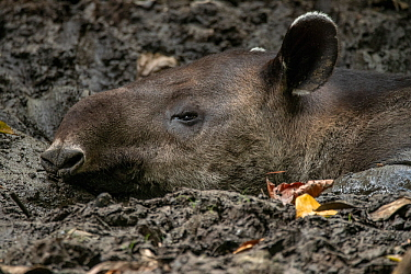 Baird's tapir (Tapirus bairdii) resting in mud pit, Corcovado National Park, Costa Rica. January. Endangered.