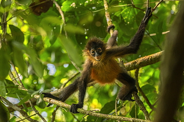 Central American spider monkey (Ateles geoffroyi) juvenile, Corcovado National Park, Costa Rica. January.