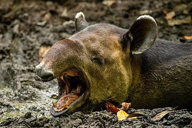 Baird's tapir (Tapirus bairdii) yawns while wallowing in Mud put in Corcovado National Park, Costa Rica. January. Endangered.