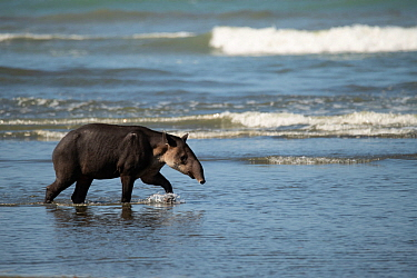 Baird's tapir (Tapirus bairdii) walking along a beach in Corcovado National Park, Costa Rica. Endangered.