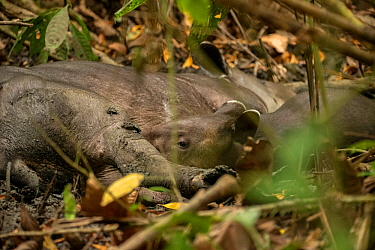 Baird's tapir juvenile (Tapirus bairdii) nursing from it's mother in Corcovado National Park, Costa Rica. Endangered.