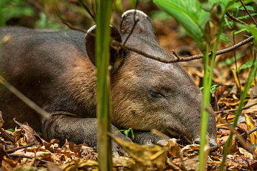 A young Baird's tapir (Tapirus bairdii) sleeping, rainforest, Corcovado National Park, Costa Rica. Endangered.