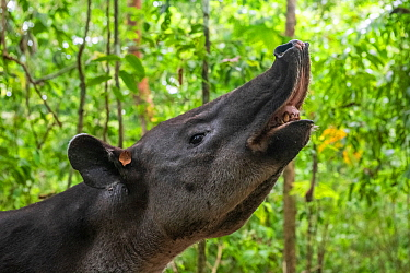 Baird's tapir (Tapirus bairdii) displaying Flehman response, rainforest, Corcovado National Park, Costa Rica. Endangered.
