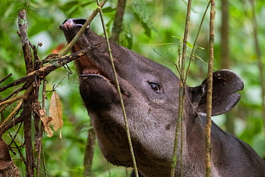 Baird's tapir (Tapirus bairdii) browsing on leaves, rainforest, Corcovado National Park, Costa Rica. Endangered.