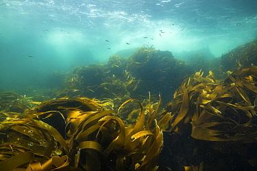 School of juvenile polluck (Pollachius pollachius) swimming over kelp along the Eastern Shore of Nova Scotia, Canada. July.