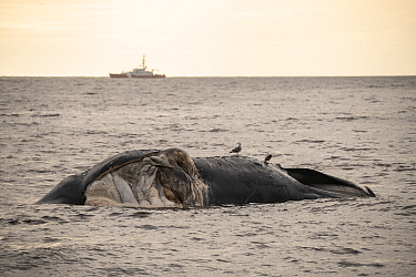 A dead North Atlantic right whale (Eubalaena glacialis) floats, Gulf of Saint Lawrence, Canada. The whale, known as 'Punctuation' to researchers, was a large female who scientists have been tr...