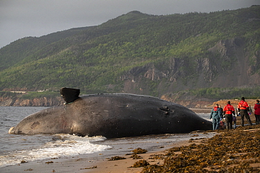 A dead North Atlantic right whale (Eubalaena glacialis) on beach in Cape Breton, Canada. The whale, known as 'Punctuation' to researchers, was a large female who scientists have been tracking...