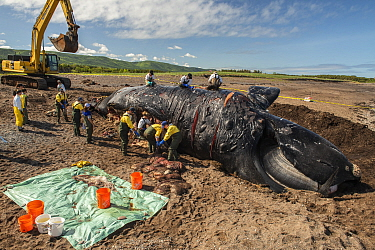 Researchers perform a necropsy on dead North Atlantic right whale (Eubalaena glacialis) on beach in Cape Breton, Canada. The whale, known as 'Punctuation' to researchers, was a large female wh...