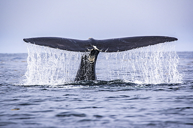 Tail of a North Atlantic right whale (Eubalaena glacialis) as it dives, Gulf of Saint Lawrence, Canada. July 2019. IUCN Status: Endangered.