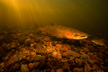 Atlantic salmon (Salmo salar) male guarding it's nest, known as a 'redd' from precocious juvenile salmon parr that may try to fertilize the females eggs. St. Mary's river, Nova Scotia,...