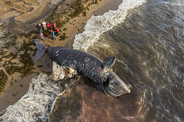 Aerial view of a dead North Atlantic right whale (Eubalaena glacialis) on beach in Cape Breton, Canada. The whale, known as 'Punctuation' to researchers, was a large female who scientists have...