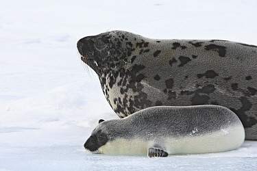 Hooded Seal (Cystophora cristata) female and pup, Magdalen Islands, Canada.March.