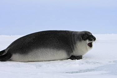 Hooded Seal (Cystophora cristata) pup, Magdalen Islands, Canada.