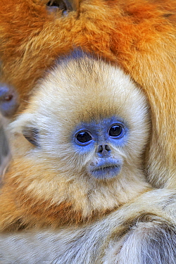Golden snub-nosed monkey (Rhinopithecus roxellana), mother and baby, Qinling Mountains, Shaanxi province, China