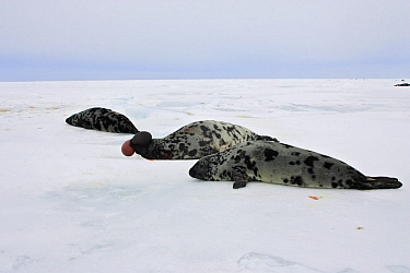 Hooded seal (Cystophora cristata) group on beach, Magdalen Islands, Quebec, Canada.
