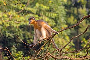 Capped langur (Trachypithecus pileatus) sitting on branch, Trishna Wildlife Sanctuary, Tripura State, India