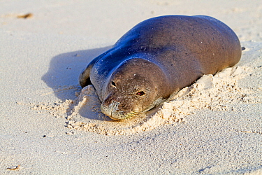 Hawaiian monk seal (Monachus schauinslandi) hauled out. Sand Island, Midway, Hawaii