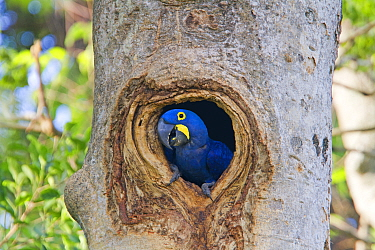 Hyacinth Macaw (Anodorhynchus hyacinthinus) adult in nest hole in tree, hole in a tree, Pantanal area, Mato Grosso, Brazil