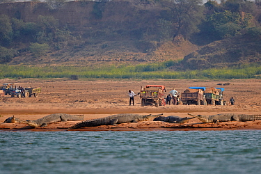 Gharial (Gavialis gangeticus) on river bank river, with people working in the background, Chambal river, Uttar Pradesh, India