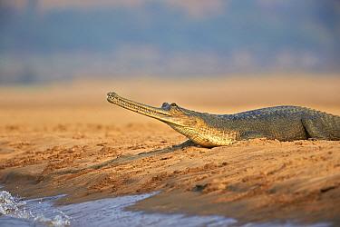 Gharial (Gavialis gangeticus), on river bank, Chambal river, Uttar Pradesh, India