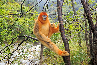 Golden snub-nosed monkey (Rhinopithecus roxellana), near by a river, Qinling Mountains, Shaanxi province, China