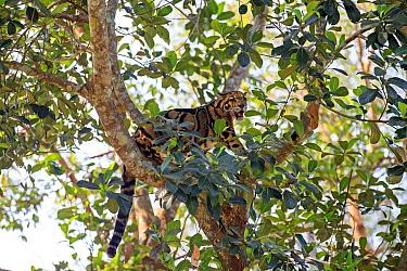Clouded leopard (Neofelis nebulosa), captive, Tripura state, India