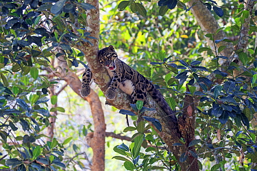 Clouded leopard (Neofelis nebulosa) resting in tree, Tripura state, India. Captive.
