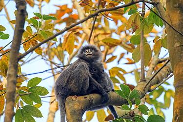Phayre's leaf monkey (Trachypithecus phayrei) , Tripura state, India