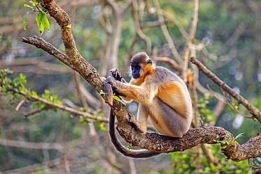 Capped langur (Trachypithecus pileatus), in tree,Trishna Wildlife Sanctuary, Tripura State, India