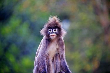 Phayre's leaf monkey or Phayre's langur (Trachypithecus phayrei) , Tripura state, India