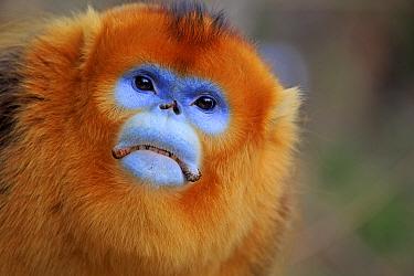 Golden snub-nosed monkey (Rhinopithecus roxellana), adult male, Qinling Mountains, Shaanxi province, China