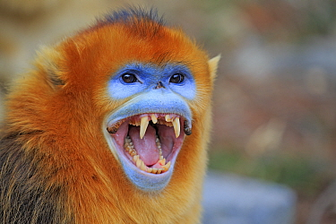 Golden snub-nosed monkey (Rhinopithecus roxellana), aggressive male with mouth wide open, Qinling Mountains, Shaanxi province, China