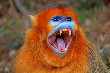 Golden snub-nosed monkey (Rhinopithecus roxellana), aggressive male with mouth open, Qinling Mountains, Shaanxi province, China