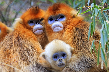 Golden snub-nosed monkey (Rhinopithecus roxellana), two females embracing with baby, Qinling Mountains, Shaanxi province, China